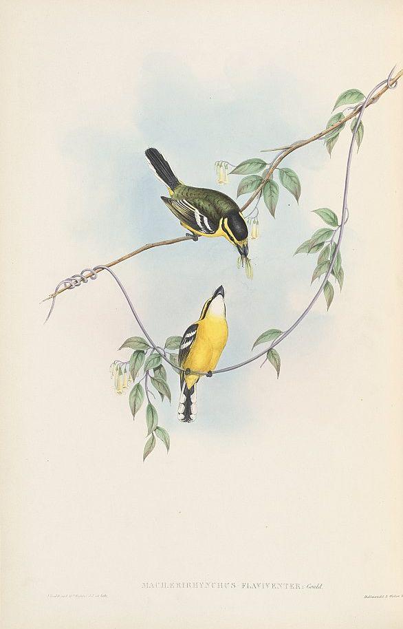 Gelbbauch-Breitschnabeltyrann (John Gould)