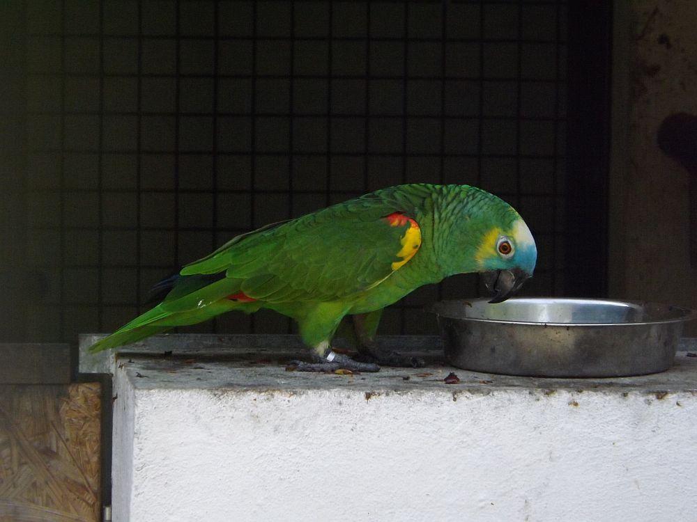 Gelbflügel-Blaustirnamazone (Vogelpark Irgenöd)