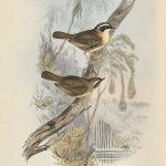 Gelbkehl-Sericornis (John Gould)