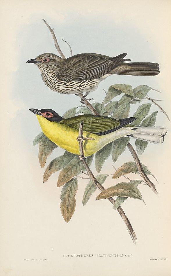 Nördlicher Feigenpirol (John Gould)