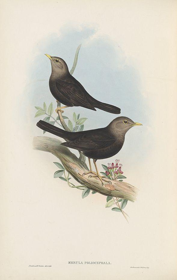 Norfolk-Inseldrossel (John Gould)