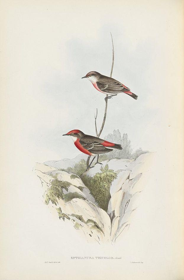 Scharlachtrugschmätzer (John Gould)