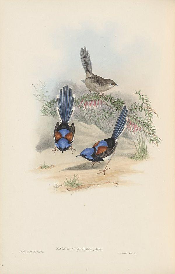 Schmuckstaffelschwanz (John Gould)