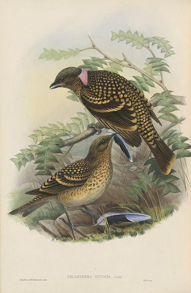 Tropfenlaubenvogel (John Gould)