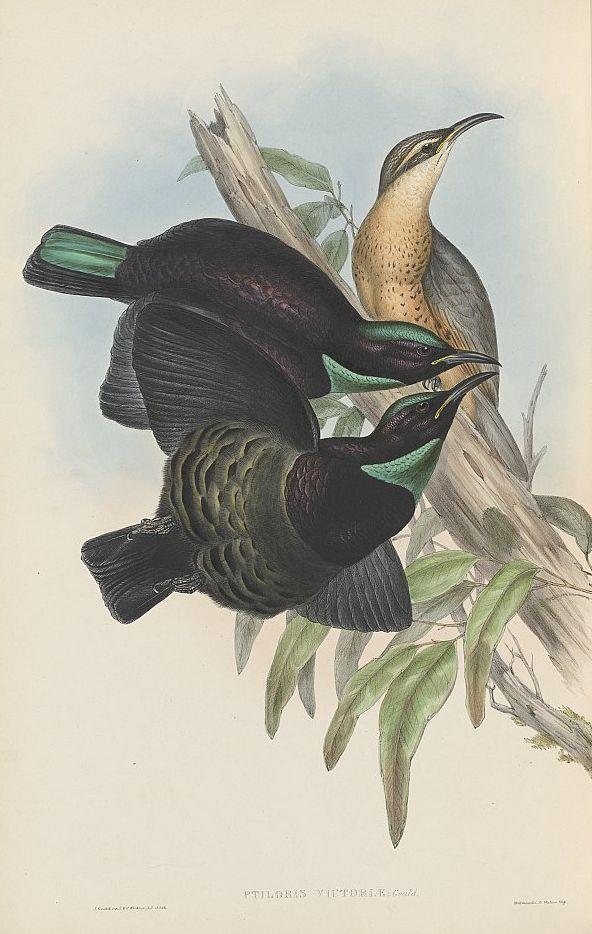 Victoria-Paradiesvogel (John Gould)