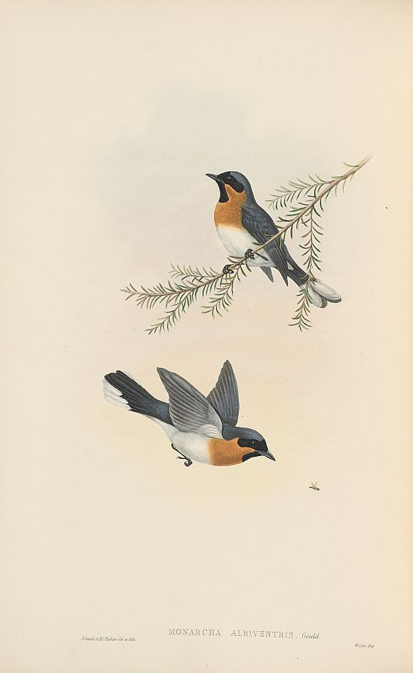 Weißbauch-Haubenschnäpper (John Gould)