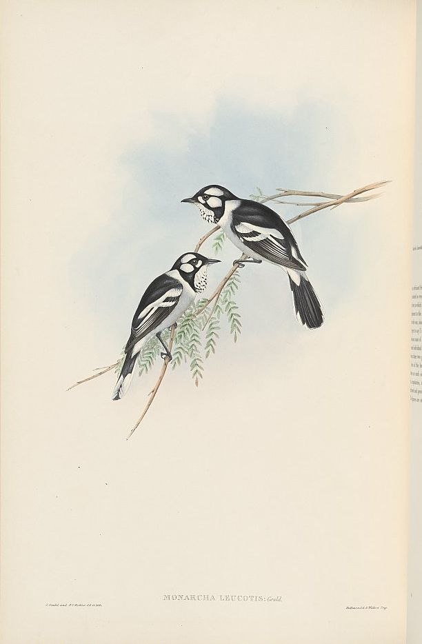 Weißohr-Monarch (John Gould)