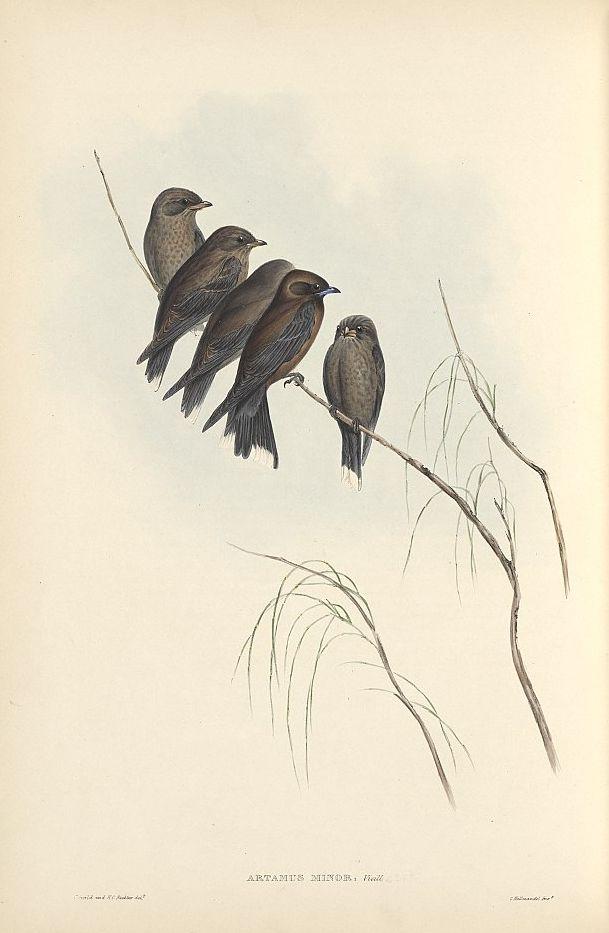 Zwergschwalbenstar (John Gould)
