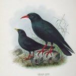 Alpendohle und Alpenkrähe (John Gerrard Keulemans)