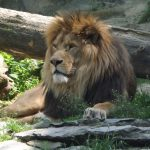 Berberlöwe (Zoo Olomouc)
