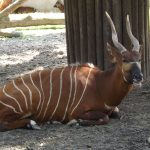 Bongo (Zoo vur Kralove nad Labem)