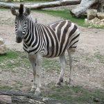 Chapman-Steppenzebra (Thüringer Zoopark)