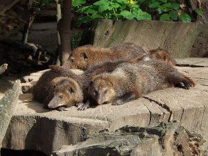 Dunkelkusimanse (Zoo Magdeburg)