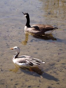 Kanada- und Hybridgans (Zoo Augsburg)