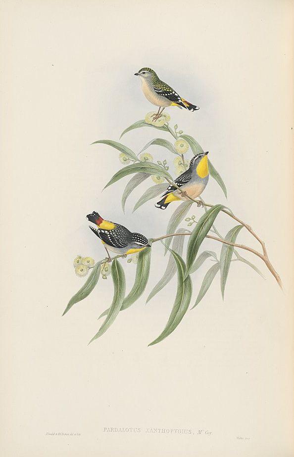 Gelbbürzel-Panthervogel (John Gould)