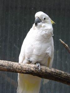 Gelbhaubenkakadu (Vogelpark Abensberg)