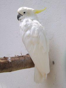 Gelbhaubenkakadu (Vogelpark Irgenöd)
