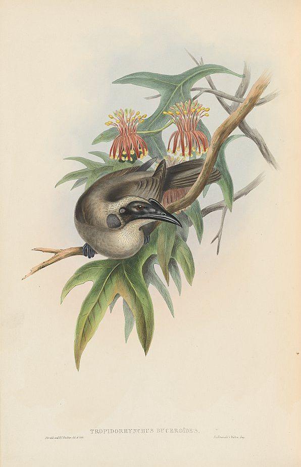 Helmlederkopf (John Gould)
