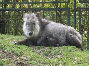 Japanischer Serau (Zoo Magdeburg)