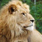 Löwe (Tierparkk Hellabrunn)