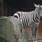 Nördliches Steppenzebra (Zoo Liberec)