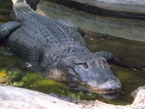 Mississippi-Alligator (Zoo Usti nad Labem)