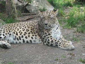 Persischer Leopard (Zoo Augsburg)