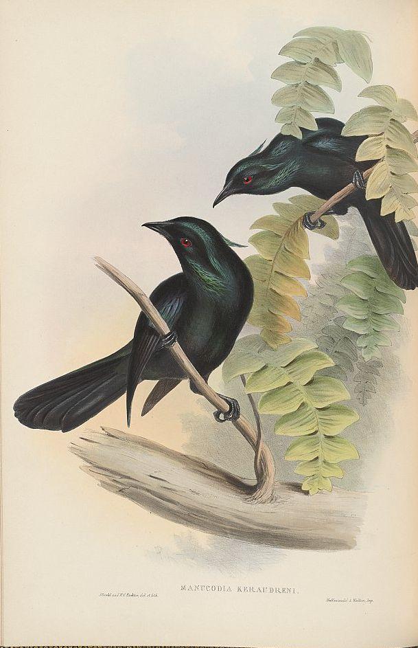 Trompeter-Paradiesvogel (John Gould)