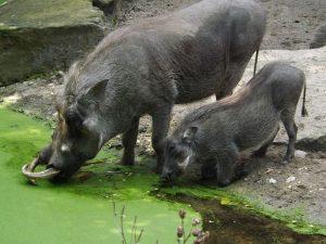 Warzenschwein (Zoo Berlin)