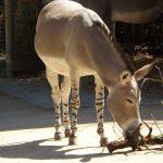 Somali-Wildesel (Zoo Basel)
