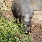 Zwergflusspferd (Zoo Basel)