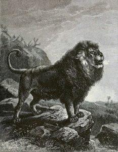 Berberlöwe (Joseph Bassett Holder)