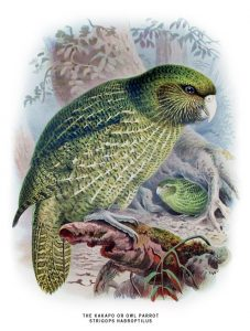 Kakapo (John Gerrard Keulemans)