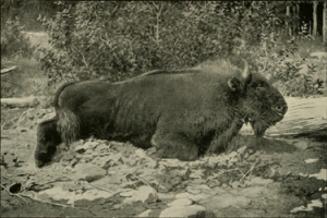 Bergwisent (E. Demidoff's book 'Hunting Trips in The Caucasus', 1889)