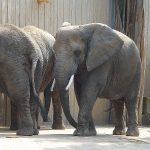 Afrikanischer Elefant (Zoo Dresden)