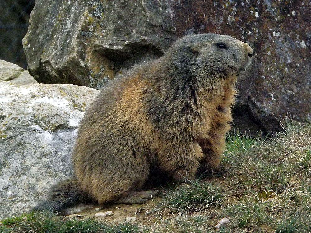 Alpenmurmeltier (Wildpark Peter und Paul)
