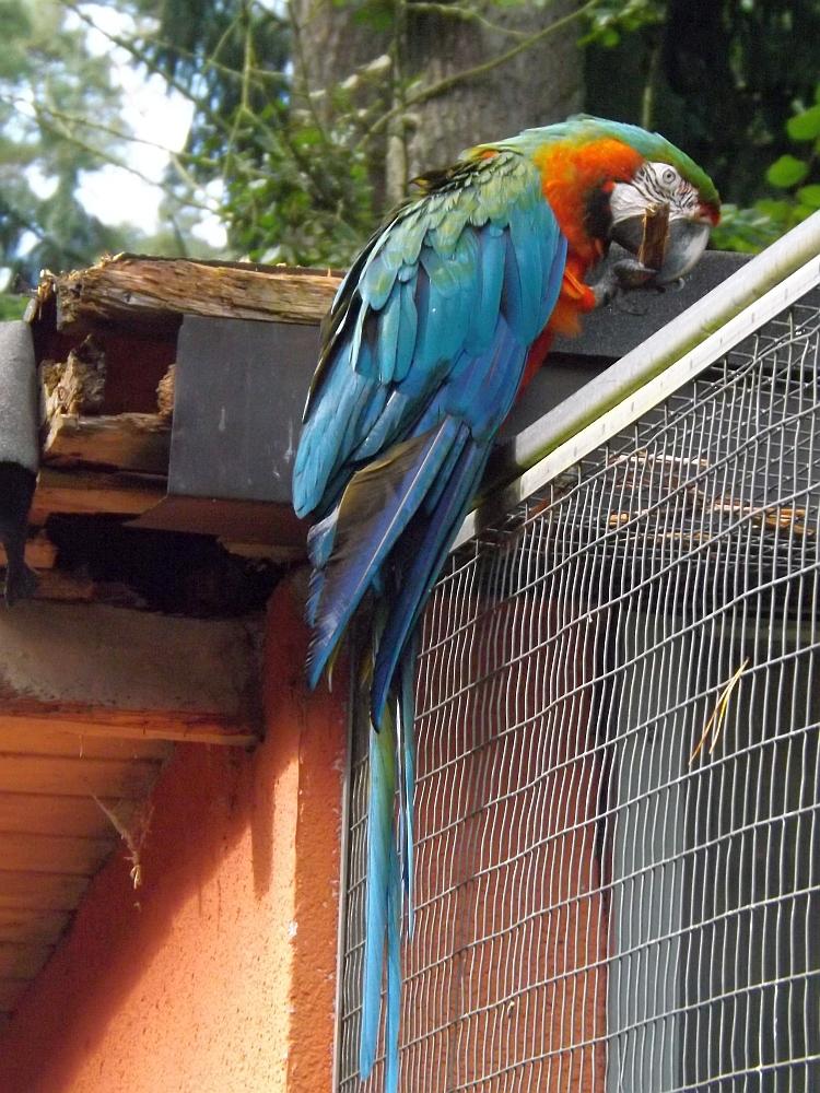 Arahybrid (Vogelpark Abenspark)
