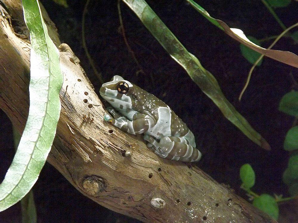 Baumhöhlen-Krötenlaubfrosch (Haus des Meeres)