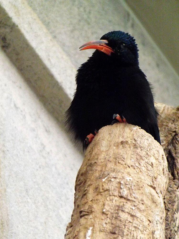 Baumhopf (Zoo Antwerpen)