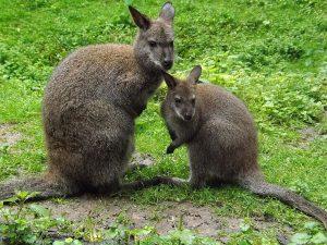 Bennett-Känguru (Tierpark Zittau)