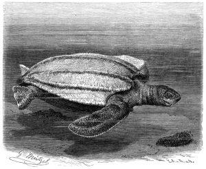 Lederschildkröte (Brehms Tierleben)
