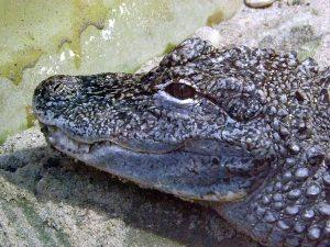 China-Alligator (Zoo Saarbrücken)