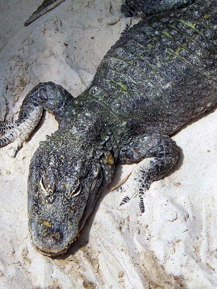 China-Alligator (Tierpark Berlin)