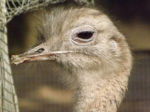 Darwin-Nandu (Weltvogelpark Walsrode)