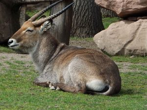 Defassa-Wasserbock (Zoo Magdeburg)