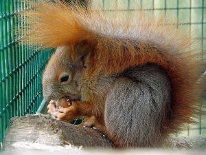 Eichhörnchen (Tierpark Dessau)