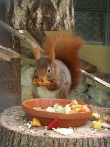 Eichhörnchen (Tierpark Bierer Berg)