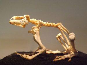 Skelett der Erdkröte (Paläon)