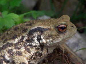 Erdkröte (Tiergarten Straubing)