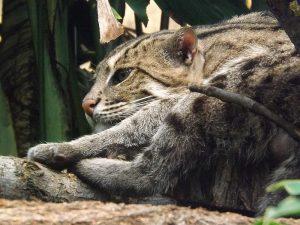 Fischkatze (Zoo Leipzig)